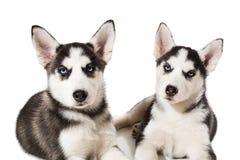 Filhote de cachorro dois bonito pequeno do cão do cão de puxar trenós Siberian com os olhos azuis isolados Imagens de Stock