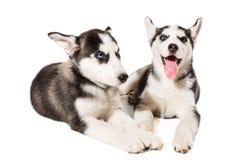 Filhote de cachorro dois bonito pequeno do cão do cão de puxar trenós Siberian com os olhos azuis isolados Fotografia de Stock Royalty Free