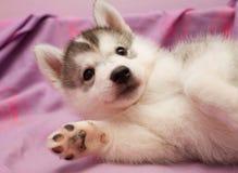 Filhote de cachorro dos doces Imagens de Stock