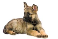 Filhote de cachorro dos pastores alemães Fotografia de Stock