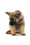 Filhote de cachorro dos pastores alemães Foto de Stock