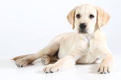 Filhote de cachorro dourado de Labrador Imagens de Stock Royalty Free