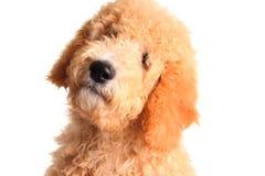 Filhote de cachorro dourado do doodle fotografia de stock royalty free