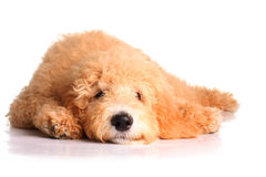 Filhote de cachorro dourado do doodle imagens de stock royalty free