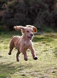 Filhote de cachorro dourado do Spaniel de Cocker Fotos de Stock