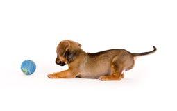 Filhote de cachorro e esfera Imagens de Stock Royalty Free