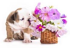 Filhote de cachorro e flores ingleses do buldogue Fotografia de Stock
