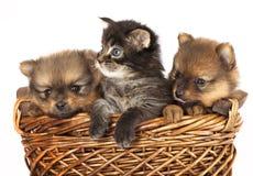 Filhote de cachorro e gatinho do Spitz Fotos de Stock Royalty Free