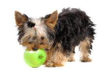 Filhote de cachorro e maçã Imagens de Stock Royalty Free