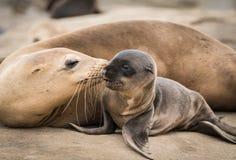 Filhote de cachorro e mamã do leão de mar que dão um beijo fotografia de stock royalty free