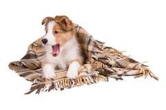 Filhote de cachorro e manta do collie de beira isolados no branco Fotografia de Stock