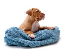 Filhote de cachorro e toalha Fotos de Stock Royalty Free