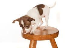 Filhote de cachorro em um tamborete Fotografia de Stock