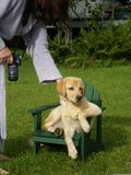 Filhote de cachorro em uma cadeira do adirondack Fotografia de Stock