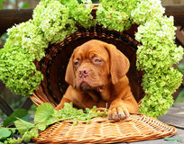 Filhote de cachorro em uma cesta com uvas. Fotografia de Stock