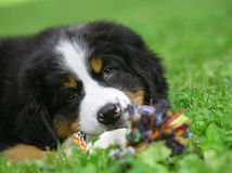 Filhote de cachorro em uma grama. Foto de Stock Royalty Free