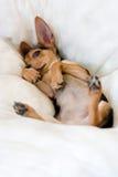 Filhote de cachorro engraçado Imagens de Stock Royalty Free