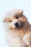 Filhote de cachorro engraçado Fotografia de Stock