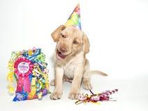 Filhote de cachorro engraçado do laboratório do aniversário Foto de Stock