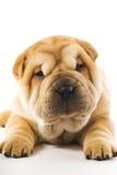 Filhote de cachorro engraçado do sharpei Foto de Stock