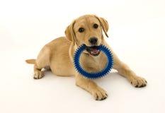 Filhote de cachorro fêmea bonito de Labrador Imagens de Stock Royalty Free