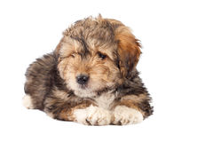Filhote de cachorro farpado do collie Imagens de Stock