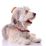 Filhote de cachorro farpado do collie Fotografia de Stock Royalty Free