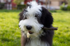 filhote de cachorro farpado do collie Fotos de Stock Royalty Free