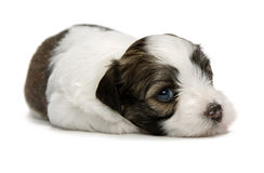 Filhote de cachorro havanese do sable pequeno bonito Fotos de Stock