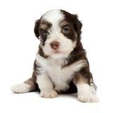 Filhote de cachorro havanese pequeno bonito Imagens de Stock