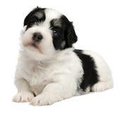 Filhote de cachorro havanese pequeno bonito Fotos de Stock Royalty Free