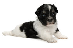Filhote de cachorro havanese pequeno bonito Foto de Stock Royalty Free