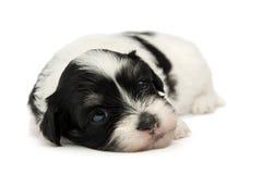 Filhote de cachorro havanese pequeno bonito Foto de Stock