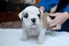 Filhote de cachorro inglês branco do buldogue Fotografia de Stock
