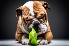 Filhote de cachorro inglês brincalhão do buldogue com bola verde Fotografia de Stock