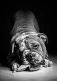 Filhote de cachorro inglês brincalhão do buldogue em preto e branco Fotos de Stock