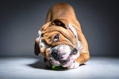 Filhote de cachorro inglês brincalhão do buldogue no estúdio Fotos de Stock