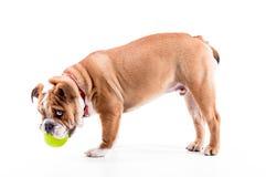 Filhote de cachorro inglês brincalhão do buldogue no fundo branco Imagens de Stock