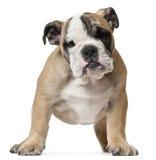Filhote de cachorro inglês do buldogue, 11 semanas velho, posição Imagens de Stock
