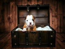 Filhote de cachorro inglês do buldogue Fotos de Stock