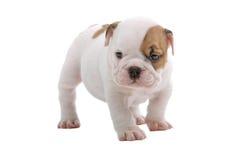 Filhote de cachorro inglês do buldogue Imagens de Stock