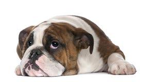 Filhote de cachorro inglês do buldogue, 4 meses velho, encontrando-se Imagens de Stock Royalty Free