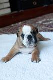 Filhote de cachorro inglês do buldogue Foto de Stock Royalty Free