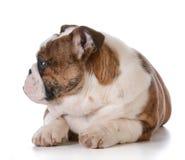 Filhote de cachorro inglês do buldogue Fotos de Stock Royalty Free