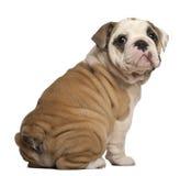 Filhote de cachorro inglês do buldogue, assento, olhando para trás Imagens de Stock Royalty Free