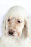 Filhote de cachorro inglês do setter Fotos de Stock