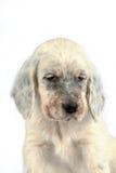 Filhote de cachorro inglês do setter Foto de Stock
