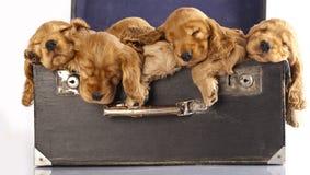 Filhote de cachorro inglês do spaniel de cocker Fotos de Stock