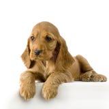 Filhote de cachorro inglês do Spaniel de Cocker fotos de stock royalty free