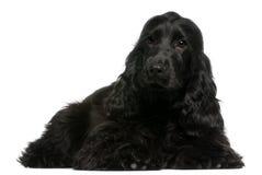 Filhote de cachorro inglês do Spaniel de Cocker, 5 meses velho Fotos de Stock